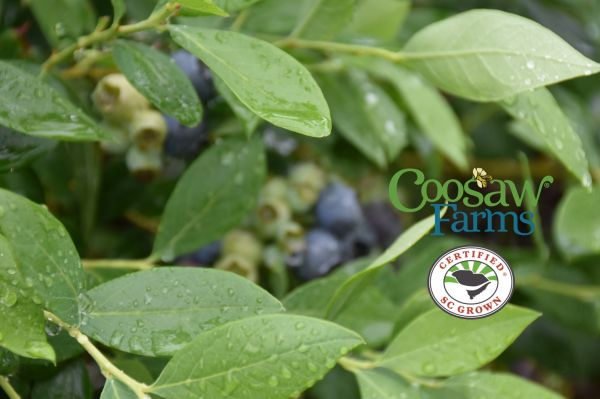 Coosaw Farms :: Blueberries